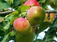 LIEGE Pomme malus.jpg